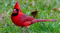 它是愤怒的小鸟的原型 号称红衣主教 堪称世界上最美丽耀眼的鸟类