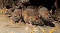 如果老鼠灭绝了, 地球会发生什么变化?