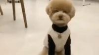 一只喜欢趴在主人手上休息的泰迪, 太可爱粘人了!