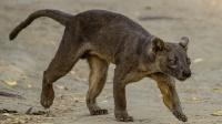 这个食肉动物为岛上霸主 像美洲狮又像狗 因狂犬病数量不足3000只