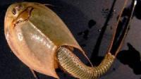 三只眼的恐龙虾 与恐龙同时代 俗称王八盖子 25年后卵还可以孵化