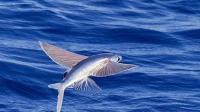 真正的飞鱼 可以飞400多米 空中停留最长可达40多秒 如同有了翅膀