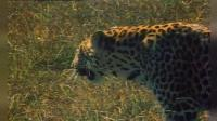 全视角观看猎豹捕猎的全过程比狮子都厉害