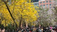 实拍近十万游客挤进华南农业大学赏花