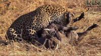 原来对花豹来说要猎杀一头野猪也不上一件容易的事情
