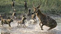 揭秘! 鬣狗为什么喜欢活吃猎物, 难道非洲二哥真是因为天性残忍?