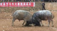 2018年大寨春节斗牛大赛A组牛全集