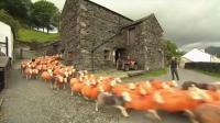 4年被偷300只羊 大叔将羊染成橘色防盗