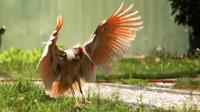 宝石之鸟 被日本皇室视为圣鸟 曾世上野生仅我国有7只 真正的国宝