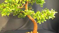 """手工DIY, 制作""""雀梅盆景""""的方法, 摆在家里非常漂亮"""