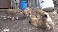 把小猎犬和小野猪放在一起, 会发生什么情况?