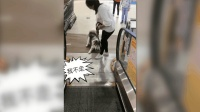哈士奇狗生初次坐电梯, 结果当场认怂, 把女主人的脸都丢尽了!