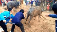 难以理解的奇怪民俗, 没想到老挝还这么原始, 几个人斗一头牛