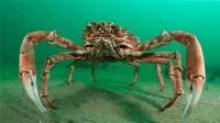 海洋里的杀人蟹 真的会杀人吗?