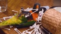 抓到一只调皮捣蛋的鹦鹉, 把家里弄的一团糟, 小心被主人拔毛哦