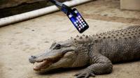 老外让鳄鱼咬iPhone后有这效果? 苹果能成世界销量第一是有原因的!