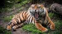 体型最小却是最残暴的老虎 曾杀死6米多长网纹蟒 狮子都干不过它