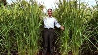 一米八高水稻, 亩产两千斤, 袁隆平再创奇迹, 外国人看了羡慕不已