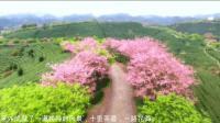 赏樱花必须去日本吗? 福建的茶园告诉你什么是最美樱花圣地