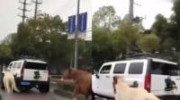 上海土豪开悍马在公路上遛马 两匹马几乎跑断气