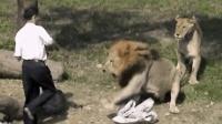 作死男子跳进狮子窝, 被两只狮子疯狂撕咬!