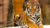 山林遇上几只老虎下山洗澡, 这群野兽组团, 还有谁敢去惹?