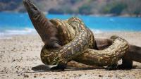 几乎没有天敌的科莫多巨蜥! 竟被一条蟒蛇活吞了!