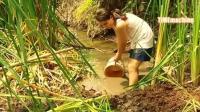 原始农业机械 - 收割稻田