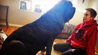 世界最大幼犬 9个月身高达1.8米
