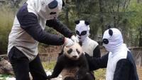 大熊猫剃了毛后, 皮肤还会黑白相间吗?