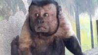 这猴子要逆天了, 长了个国字脸, 可适用人脸识别