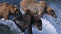这个季节的鲑鱼长得异常大, 熊捕捉一条就够吃饱了, 老鹰和灰狼也来分一杯羹