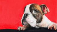 彩铅超写实动物教程毛发质感的处理—可爱的斗牛犬(1)