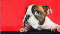 彩铅超写实动物教程毛发质感的处理—可爱的斗牛犬(4)