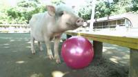 咿呀咿呀之小小认知乐园 第5集 猪
