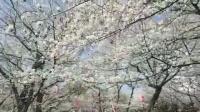 东京飞鸟山公园, 樱花密布, 游人如织