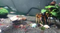 鱼友的鼠鱼吃红虫的样子看着真好玩, 红鼻剪刀也好看