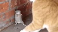 这些老鼠的求生欲可以说是非常强了