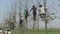 现场:印度老虎一年吃22人 村民上树躲避