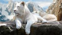 曾生活在冰天雪地的狮子 全身白色 眼睛是蓝色的 全世界不足100只
