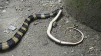 这个毒蛇号称佛蛇 吃别的蛇就像吃甘蔗 到了晚上就是它的天下