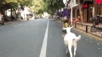 """女子骑单车带小羊溜街 网友: 这是在""""抖音""""吗?"""