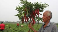 夏天种的辣椒产量低? 是你缺少一把秸秆, 多年种植经验分享
