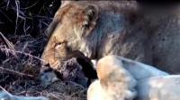 平头哥蜜獾这次惹怒了狮子, 狮子发怒轻松秒杀平头哥