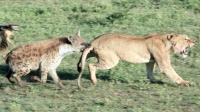鬣狗惹怒狮群招来杀身之祸, 非洲草原两大种群再次重燃战火