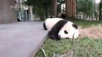 可爱大熊猫的日常  哈哈  真是太可爱了