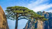 """中国最""""贵""""的两棵树, 一棵投保1个亿, 一棵配有专门的守卫"""