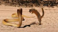 眼镜王蛇最怕谁? 不是蜜獾平头哥, 而是吃饱了也要干毒蛇的蛇獴