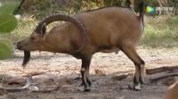 山羊角长得太长影响生活, 这样下去迟早要得颈椎增生
