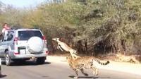羚羊被猎豹追捕! 跳进路过的车辆里! 司机大赞机智!
